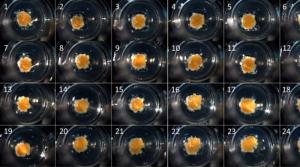 اندامهای چاپ شده، رقیب سلولهای بنیادی